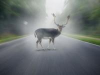 Hirsch auf der Landstraße